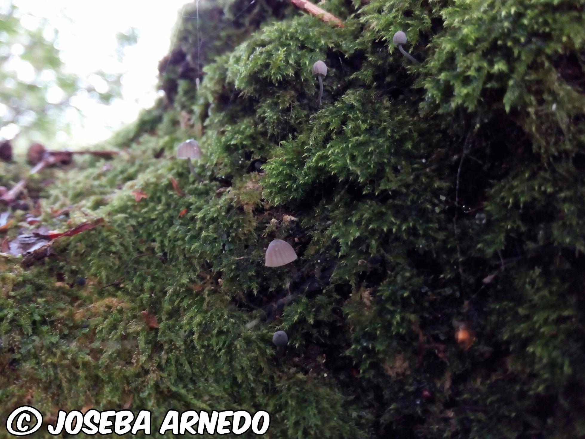 Mycenapseudocorticola_2017-09-11.jpg