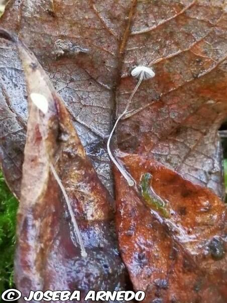 Mycena mucor