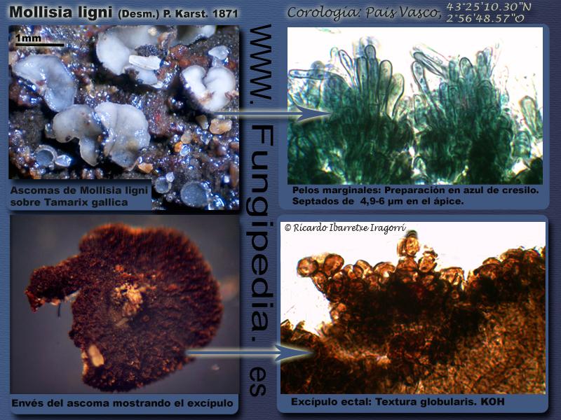 Mollisia-ligni_ficha_fungi1.jpg