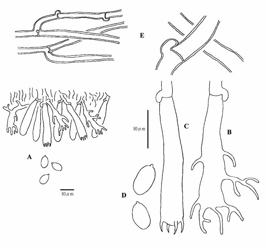 Pulcherriciumcaeruleum3.JPG