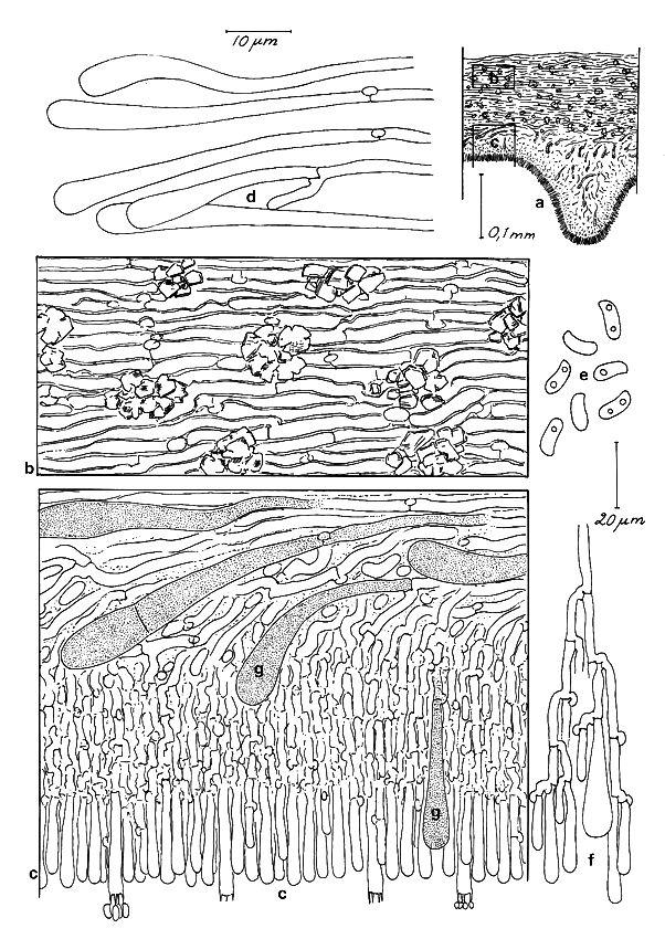 TempF13757_Phlebia-rufa-fig592.jpg