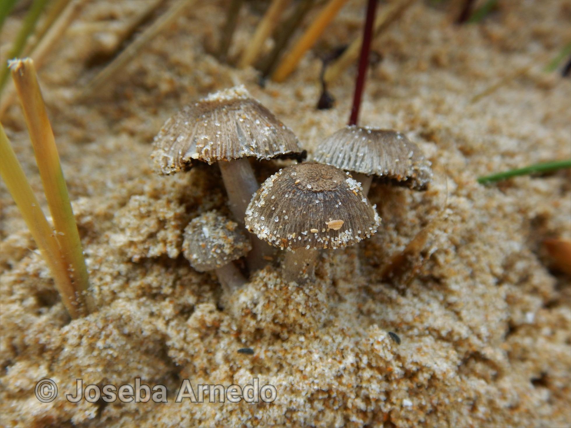 Coprinopsisammophilae-Kopia.jpg