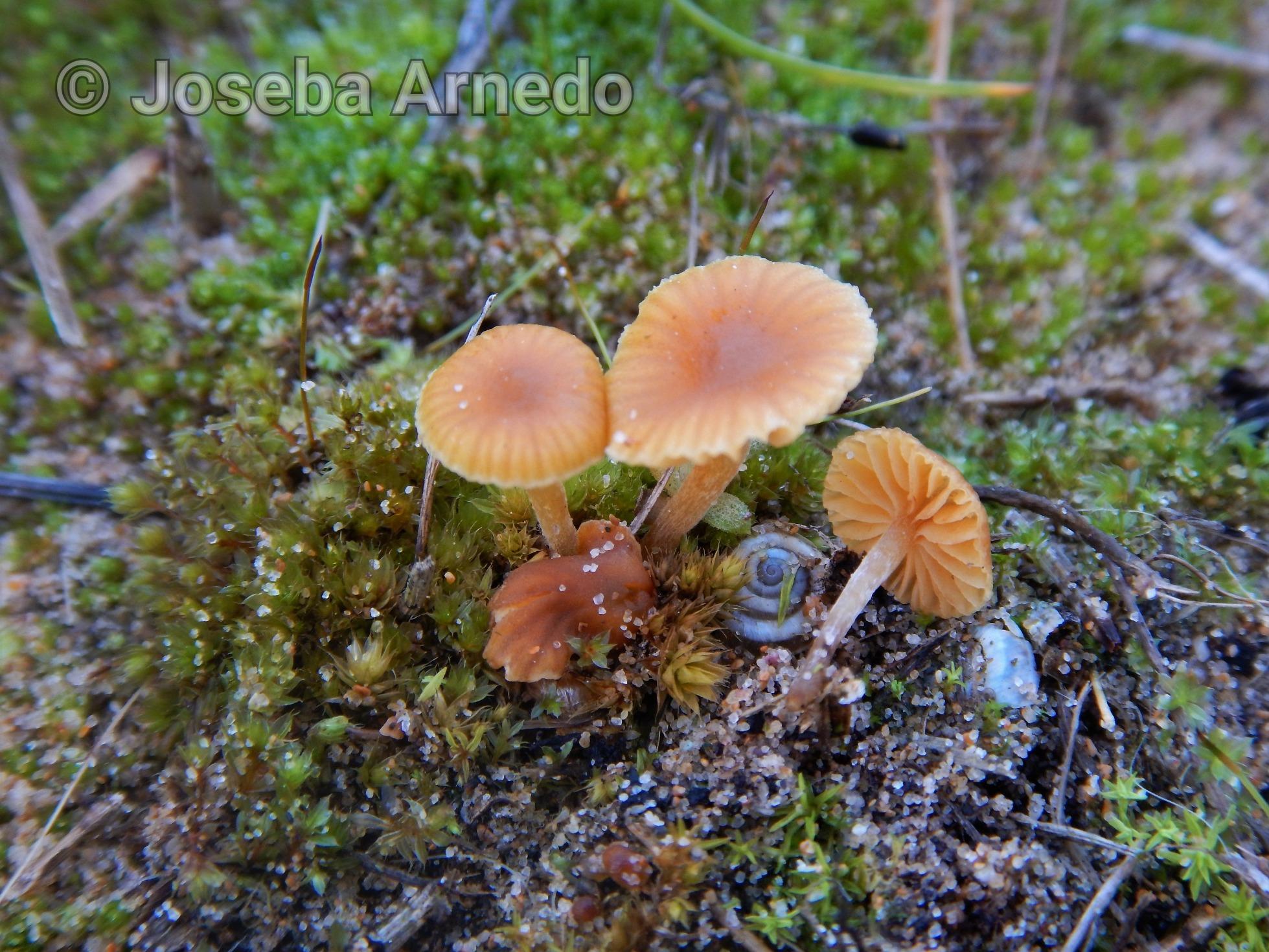 Galerinagraminea_2020-01-28.jpg