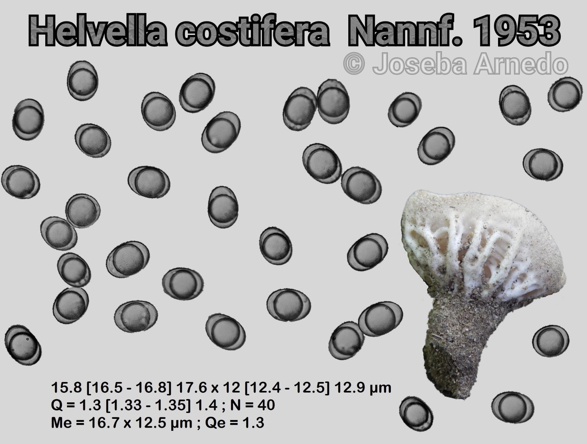 Helvellacostifera-fitxa_1559502610140.jpg