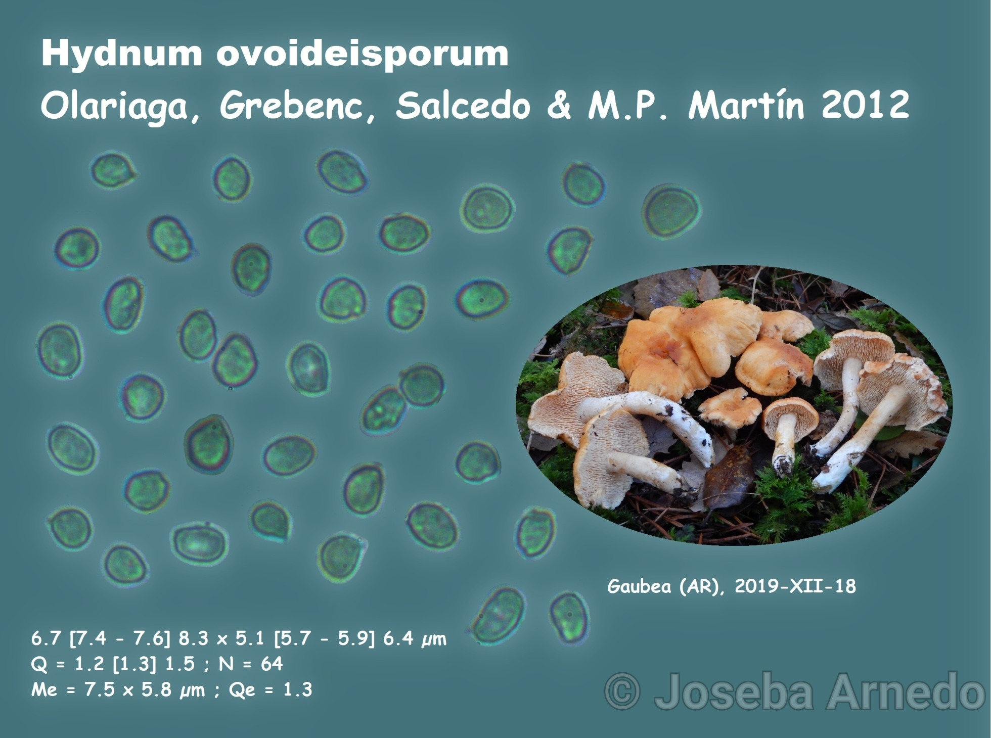 Hydnumovoideisporumfitxa_1578501208843_1578501585111.jpg