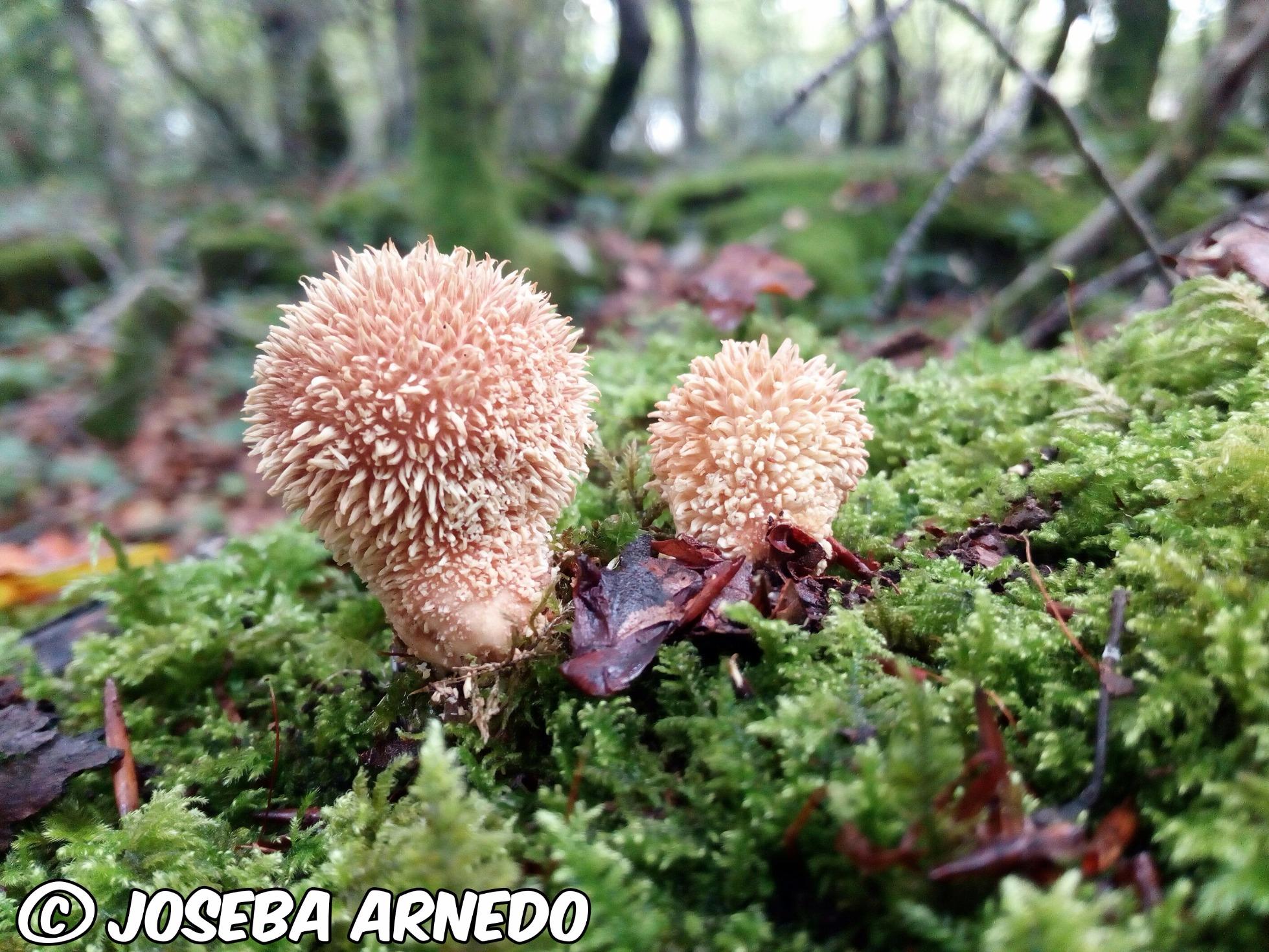 Lycoperdonechinatum.jpg
