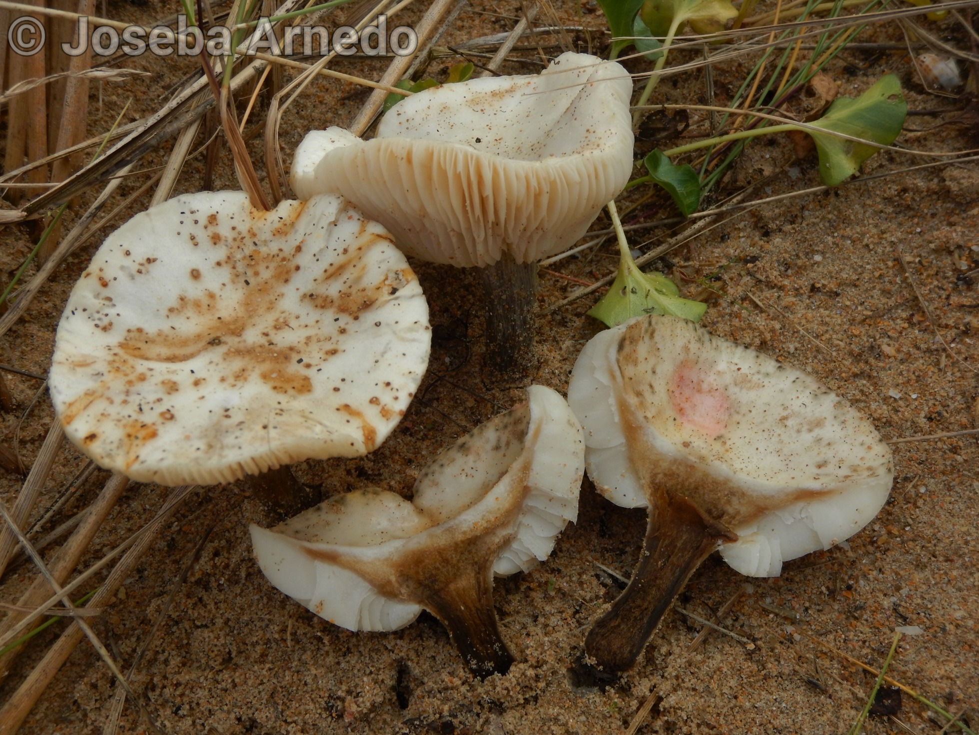 Melanoleucacinereifolia.jpg