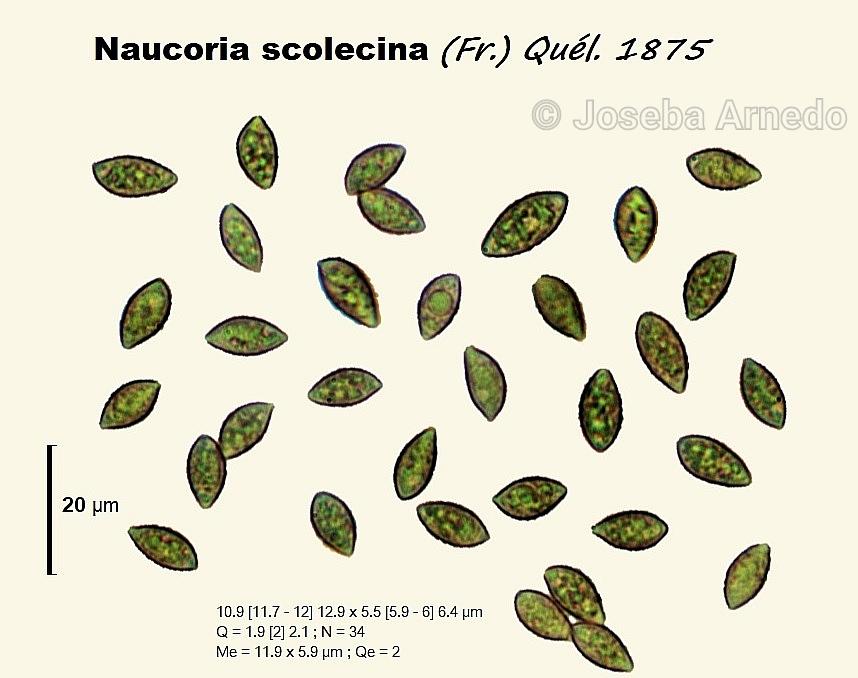 Naucoriascolecinafitxa.jpg