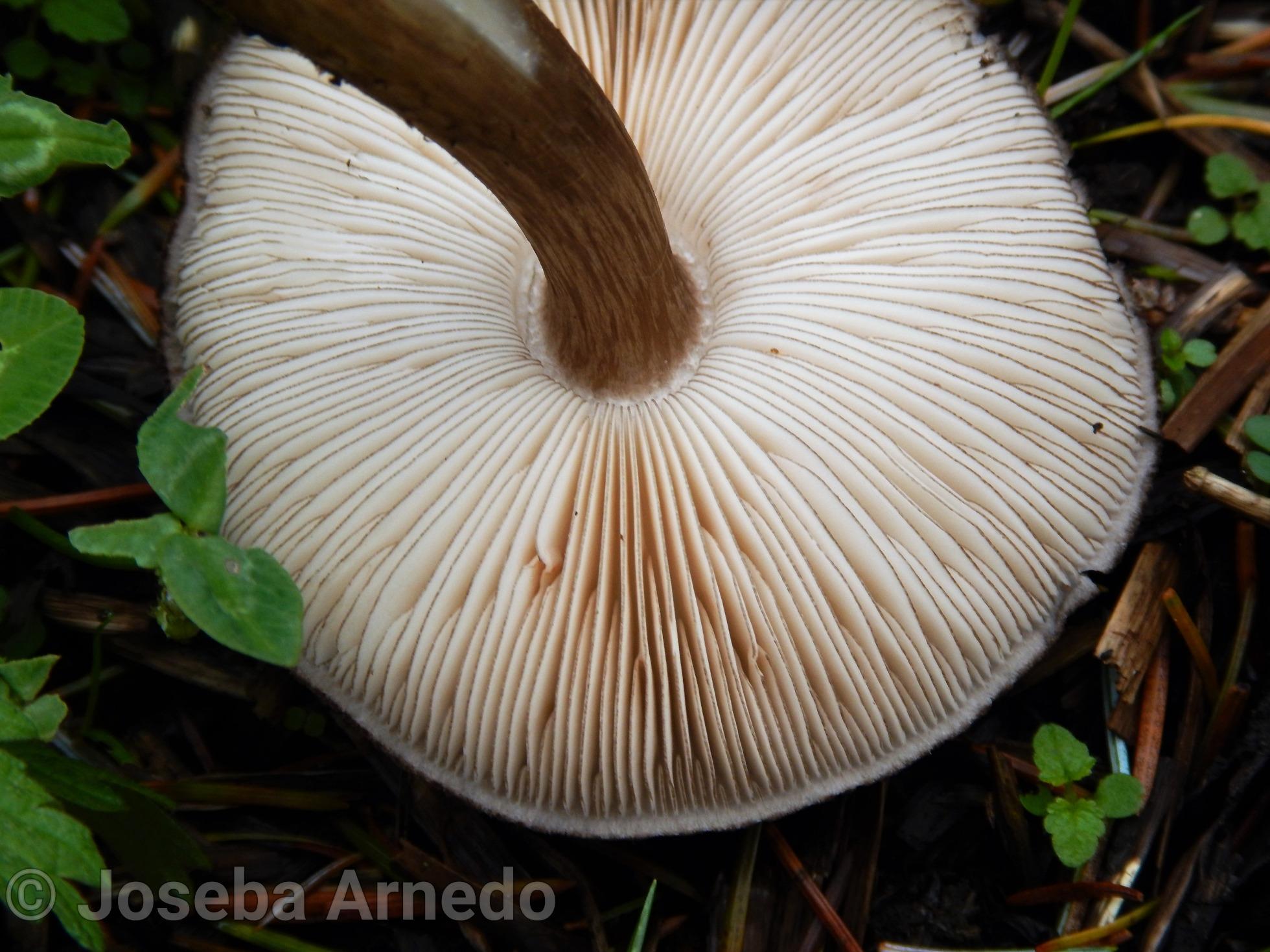 Pluteusatromarginatus2.jpg
