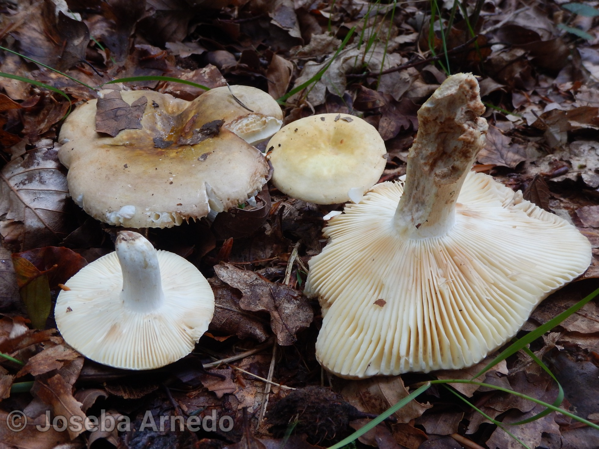 Russulagraveolens.jpg