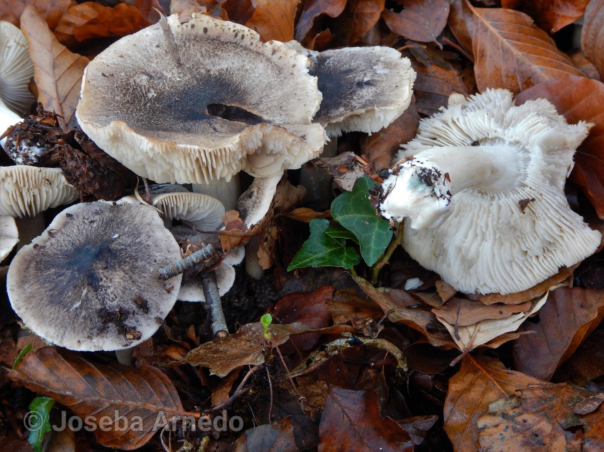 Tricholomaorirubens2.jpg