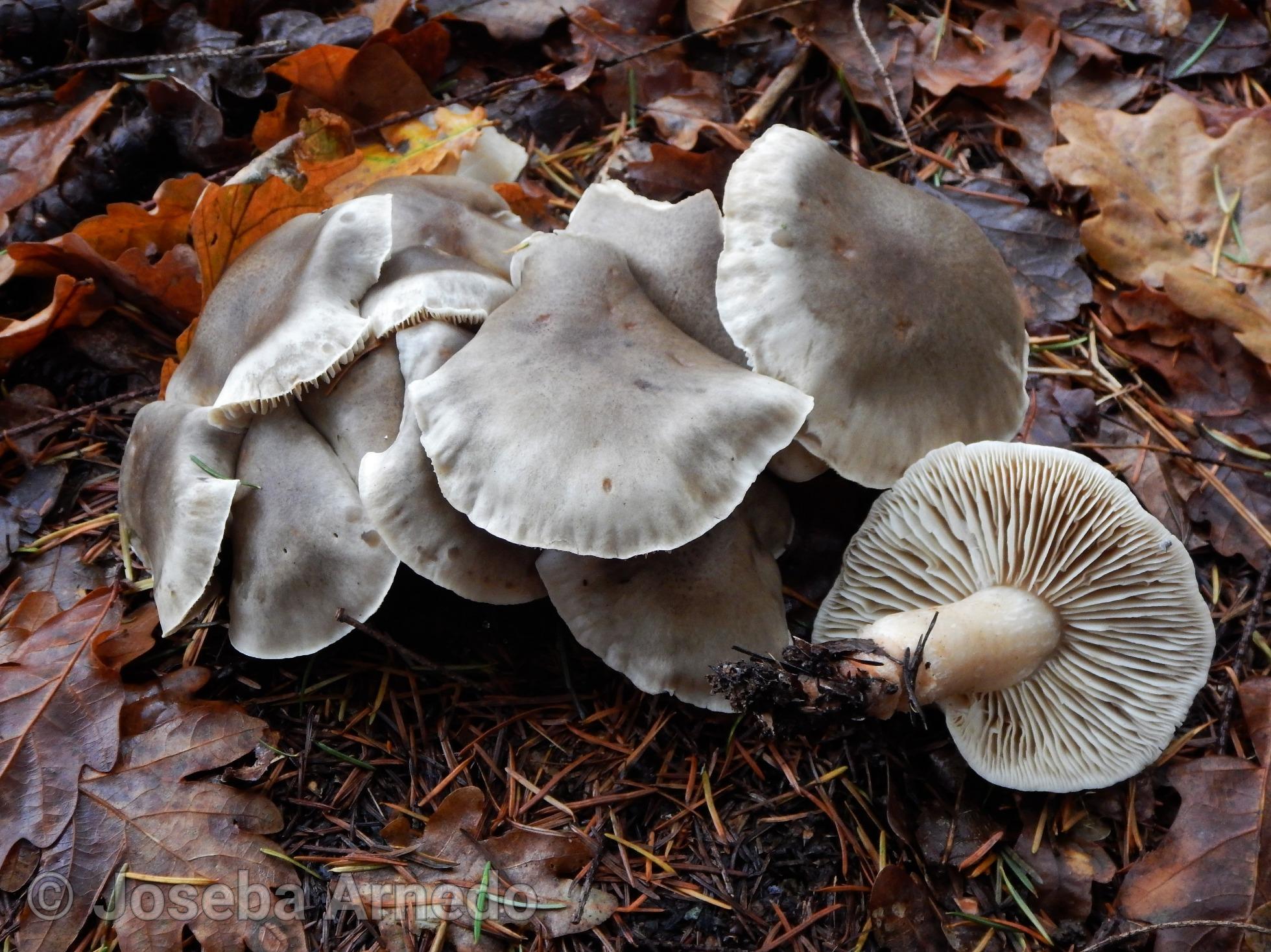 Tricholomasaponaceum_1545157610439.jpg