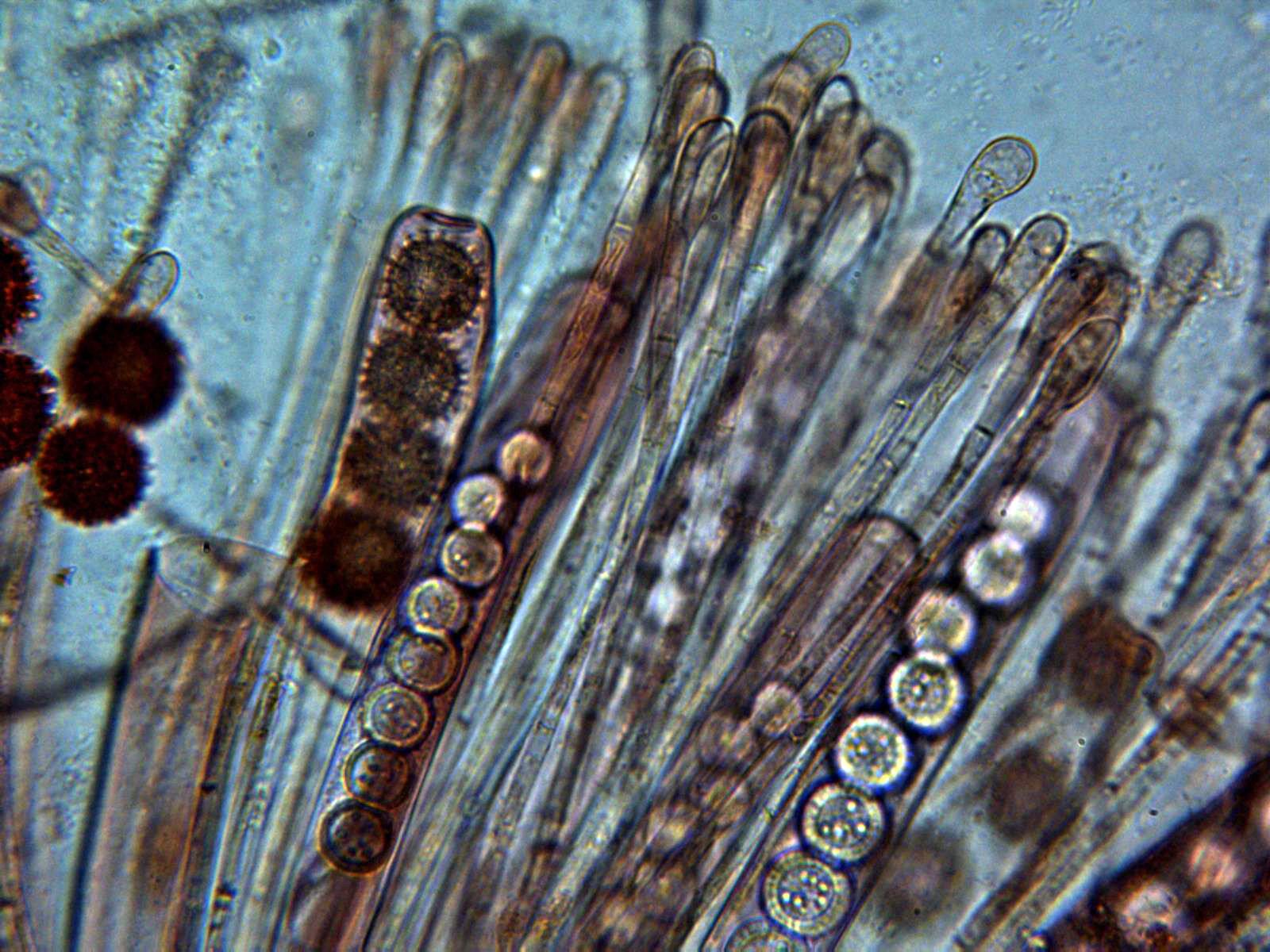 10-Ascosyparfisis.jpg