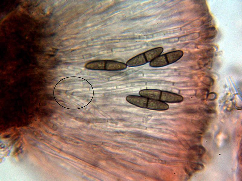 12-Ascasyparfisis.jpg