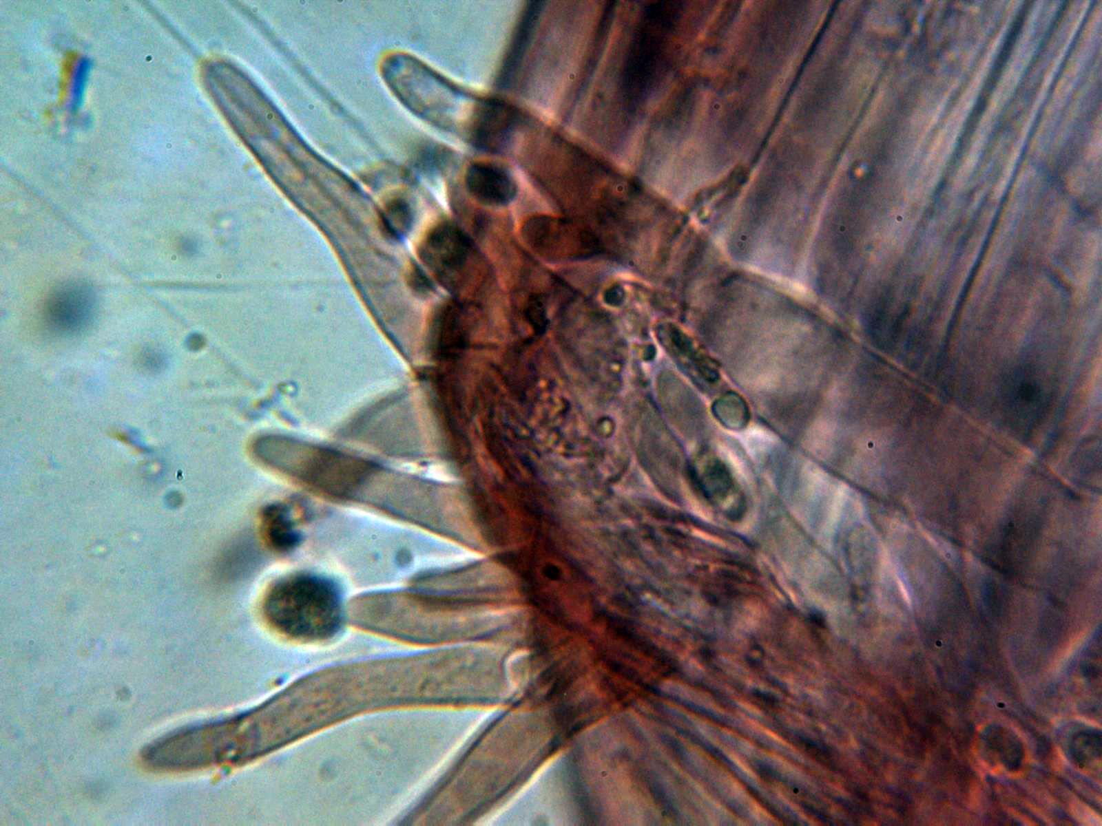 12-Caulocistidios2.jpg