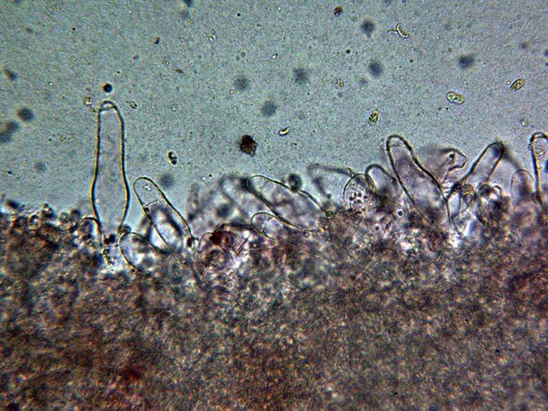 12-Queilocistidiosx400_2021-02-01.jpg