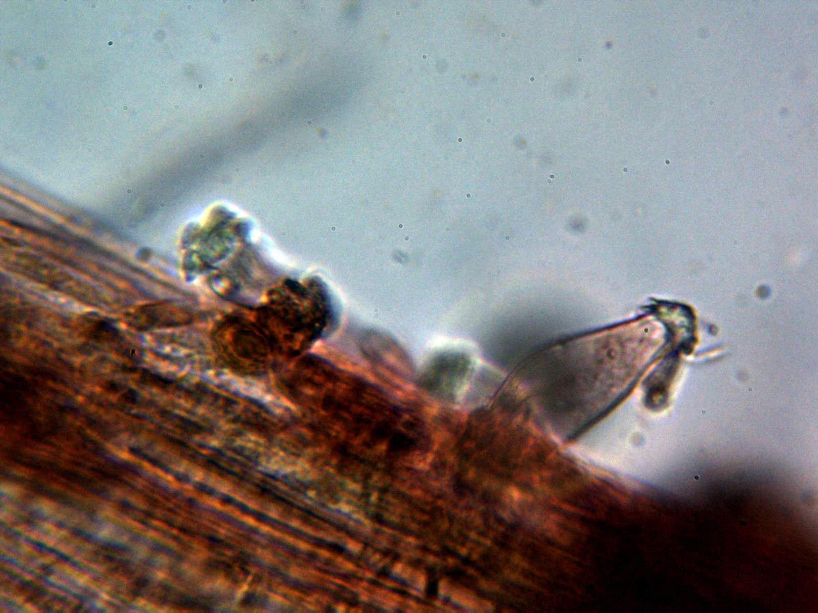 4-Caulocistidio2.jpg