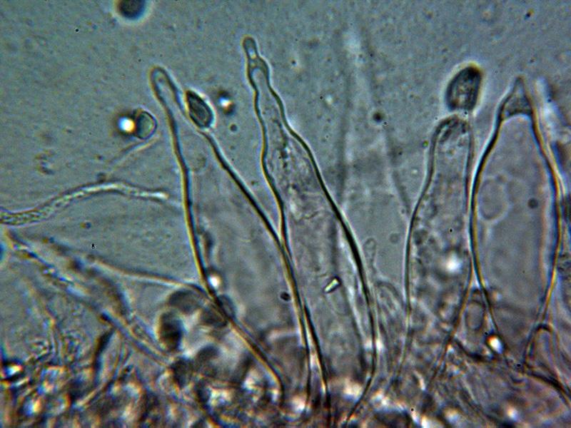 6-Queilocistidios1.jpg