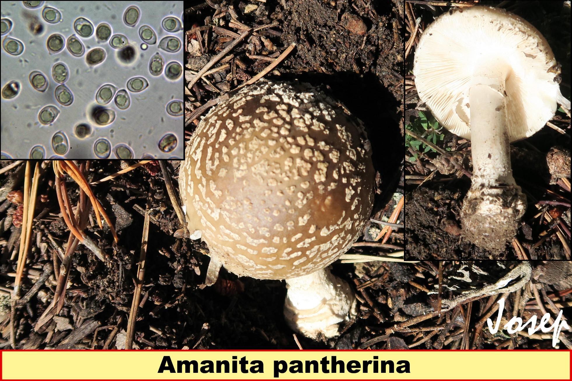 Amanitapantherina_2018-12-17.jpg