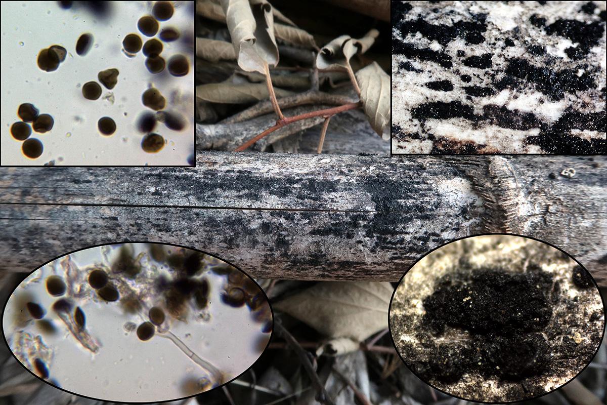 Arthriniumarundinisp.jpg