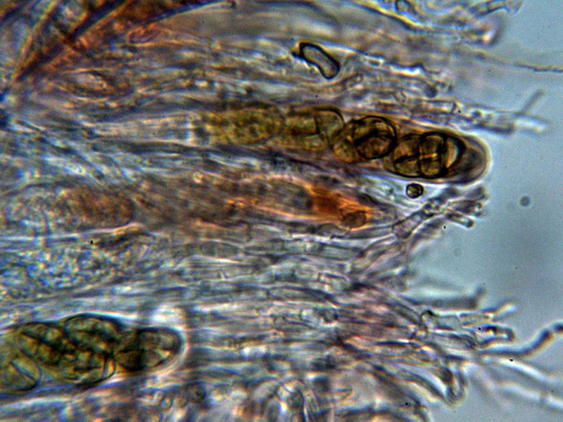 Ascasyparfisis_2020-11-13.jpg