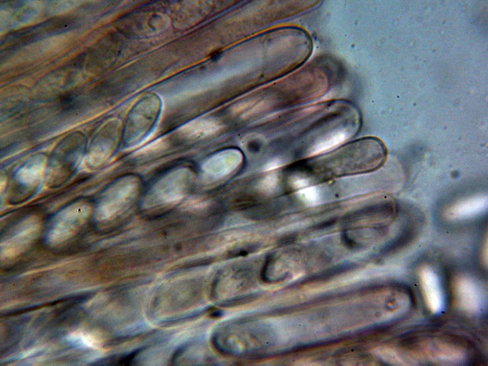 Ascosyparfisis1_2021-06-30.jpg