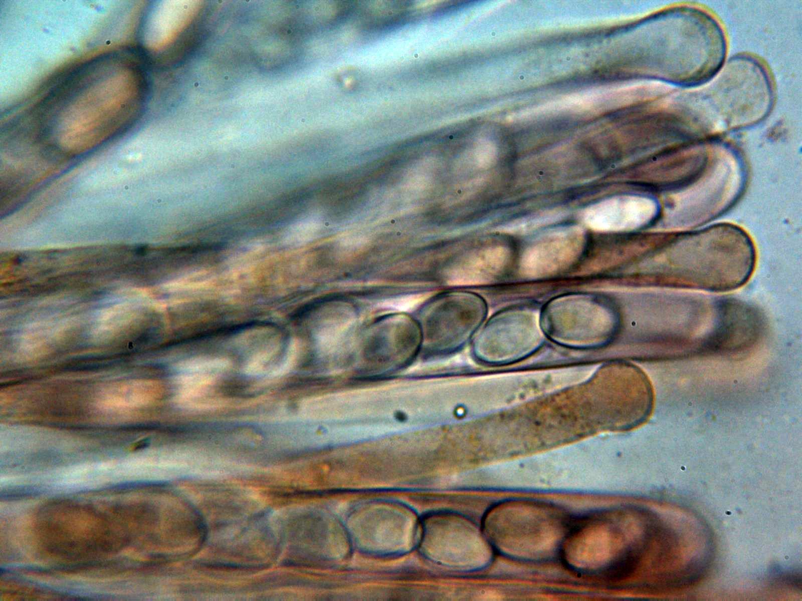 Ascosyparfisis2_2021-06-30.jpg