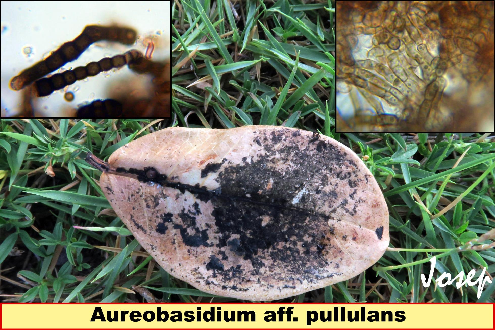 Aureobasidiumaff.pullulans.jpg
