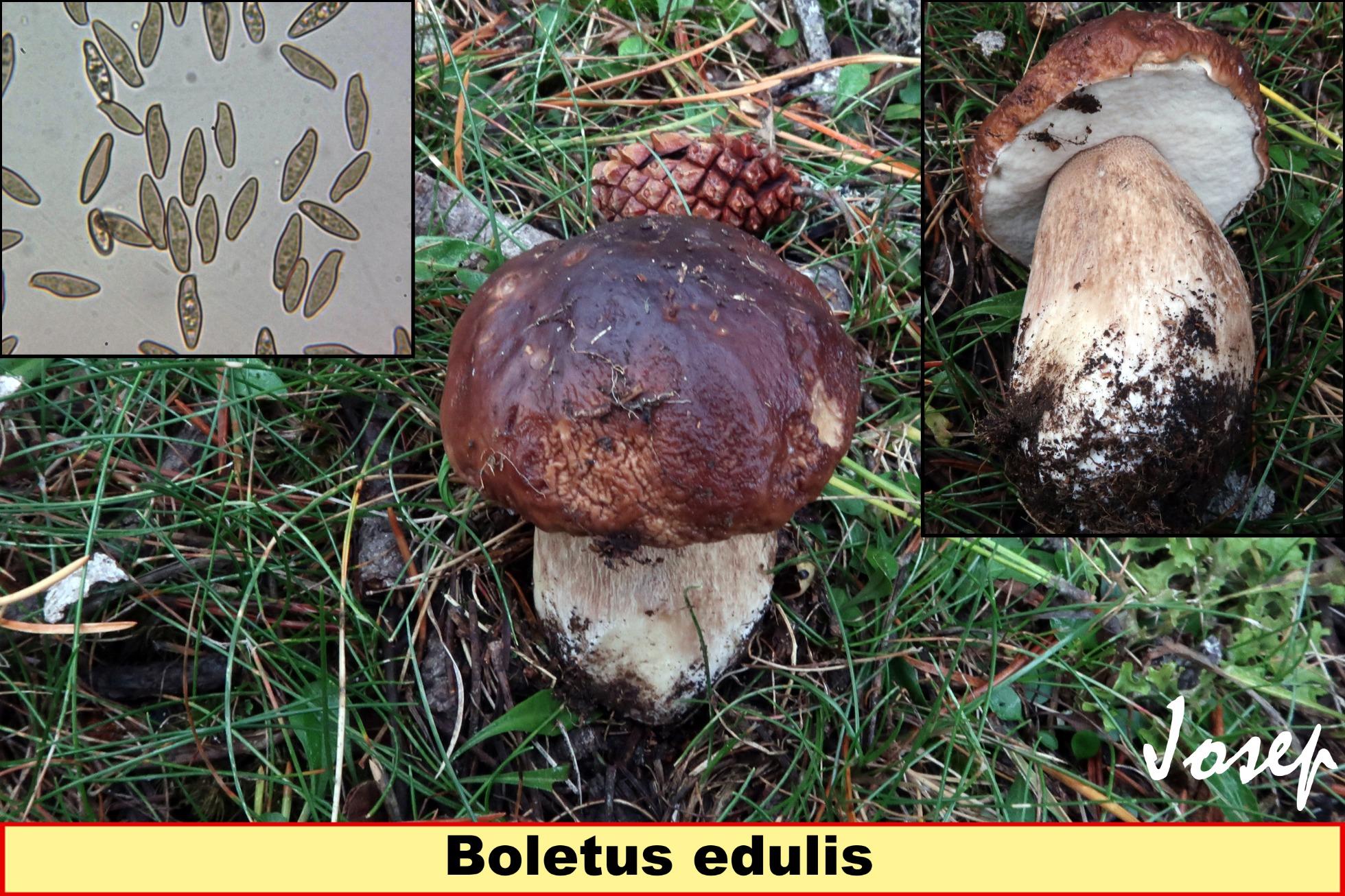 Boletusedulis_2019-11-26.jpg
