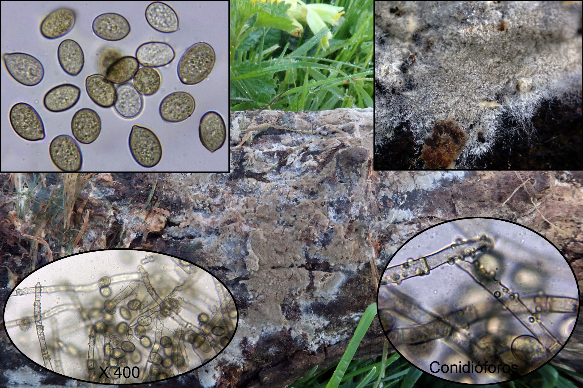 Botryobasidiumconspersump_2020-04-01.jpg