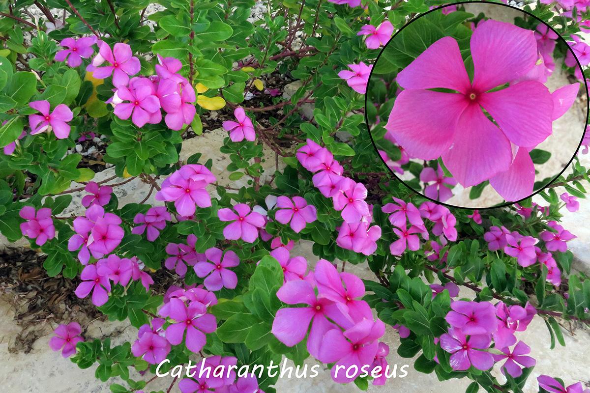 Catharanthusroseus.jpg