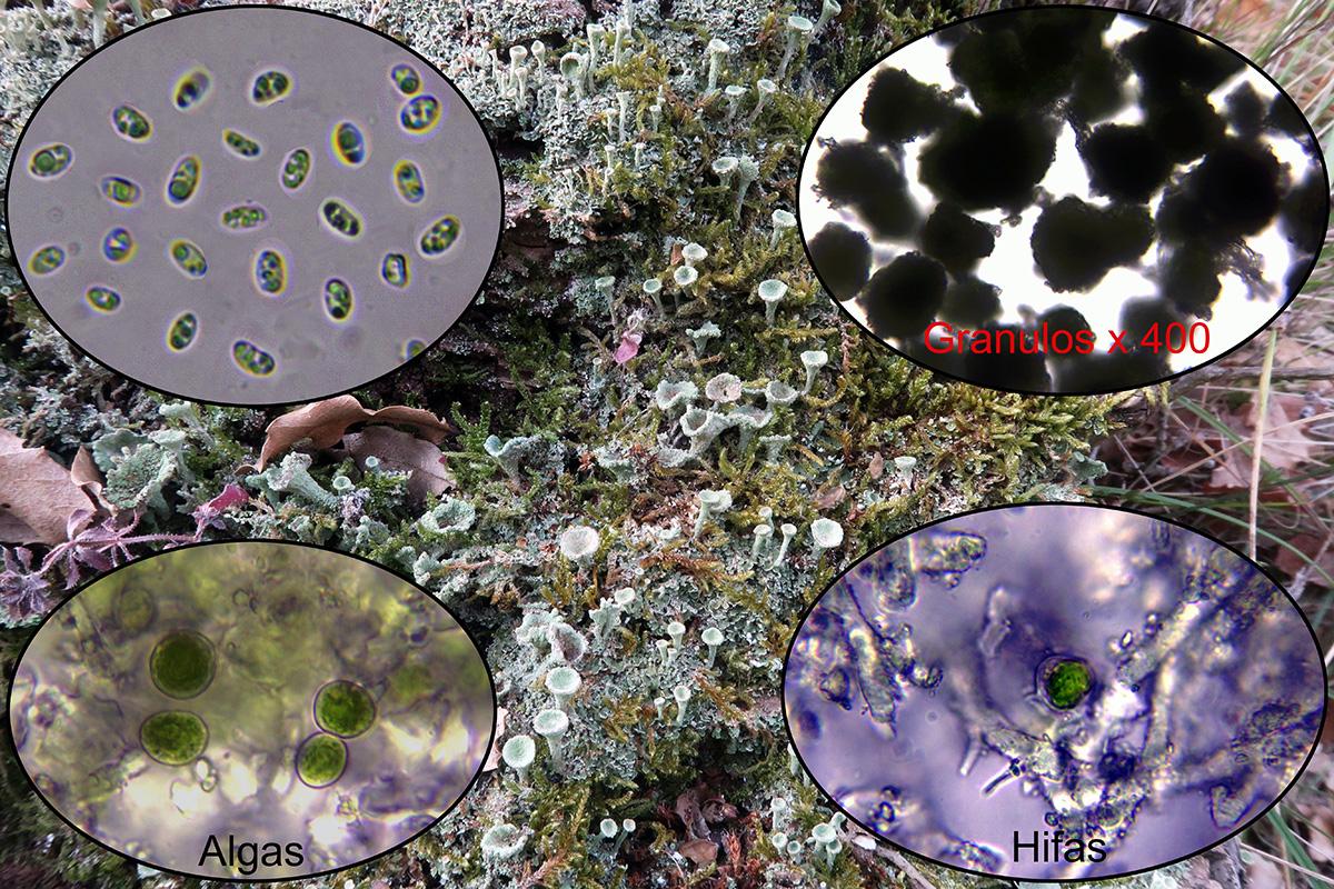 Cladoniachlorophaeap2.jpg
