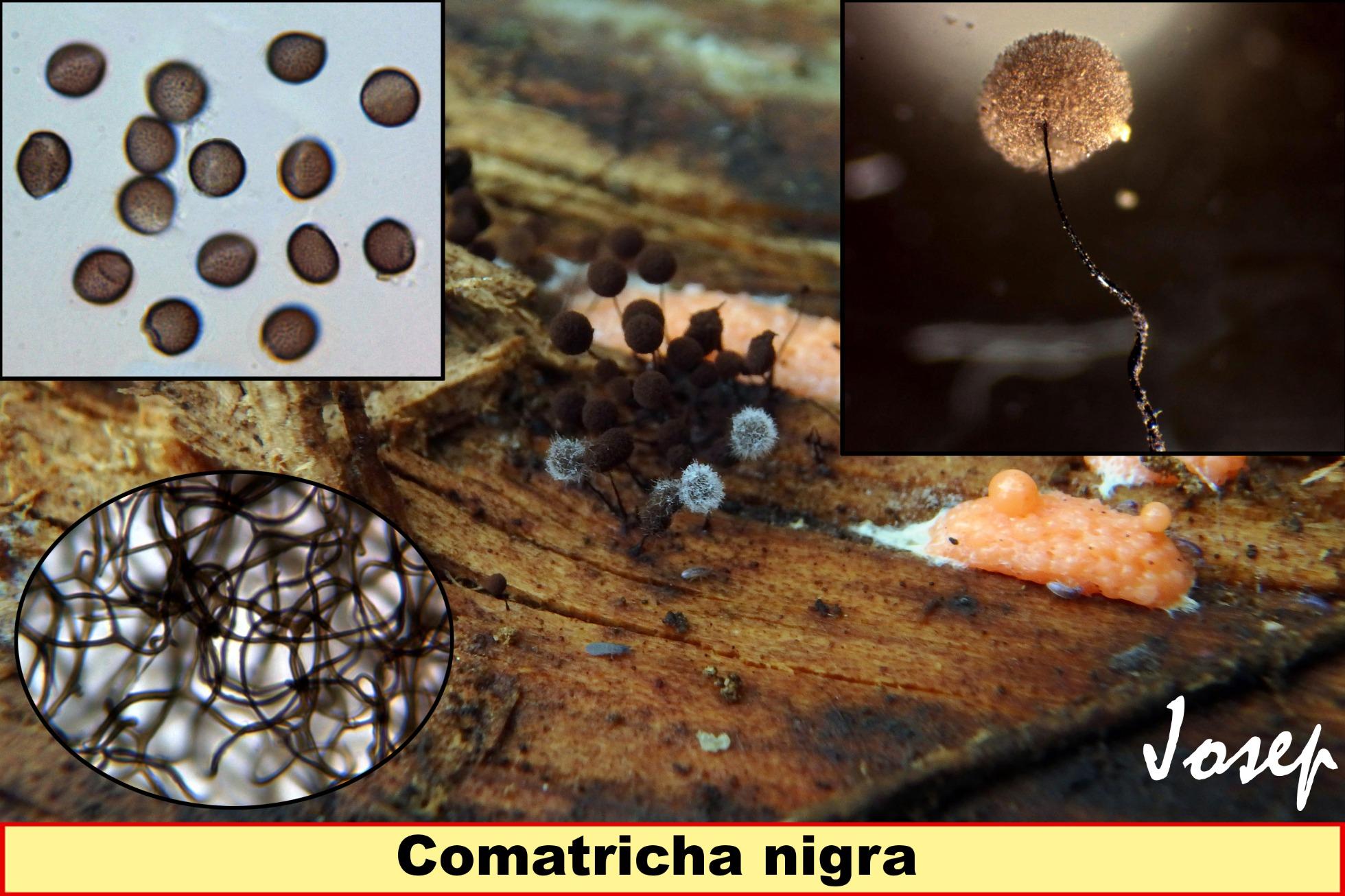 Comatrichanigra_2019-12-05.jpg