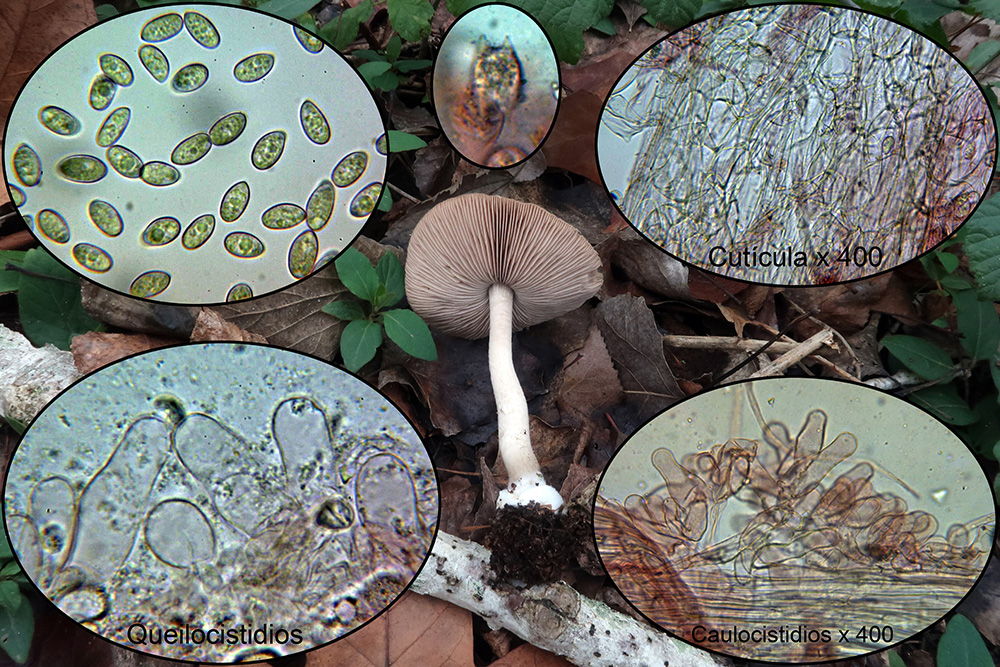 Coprinopsismelanthinap2.jpg