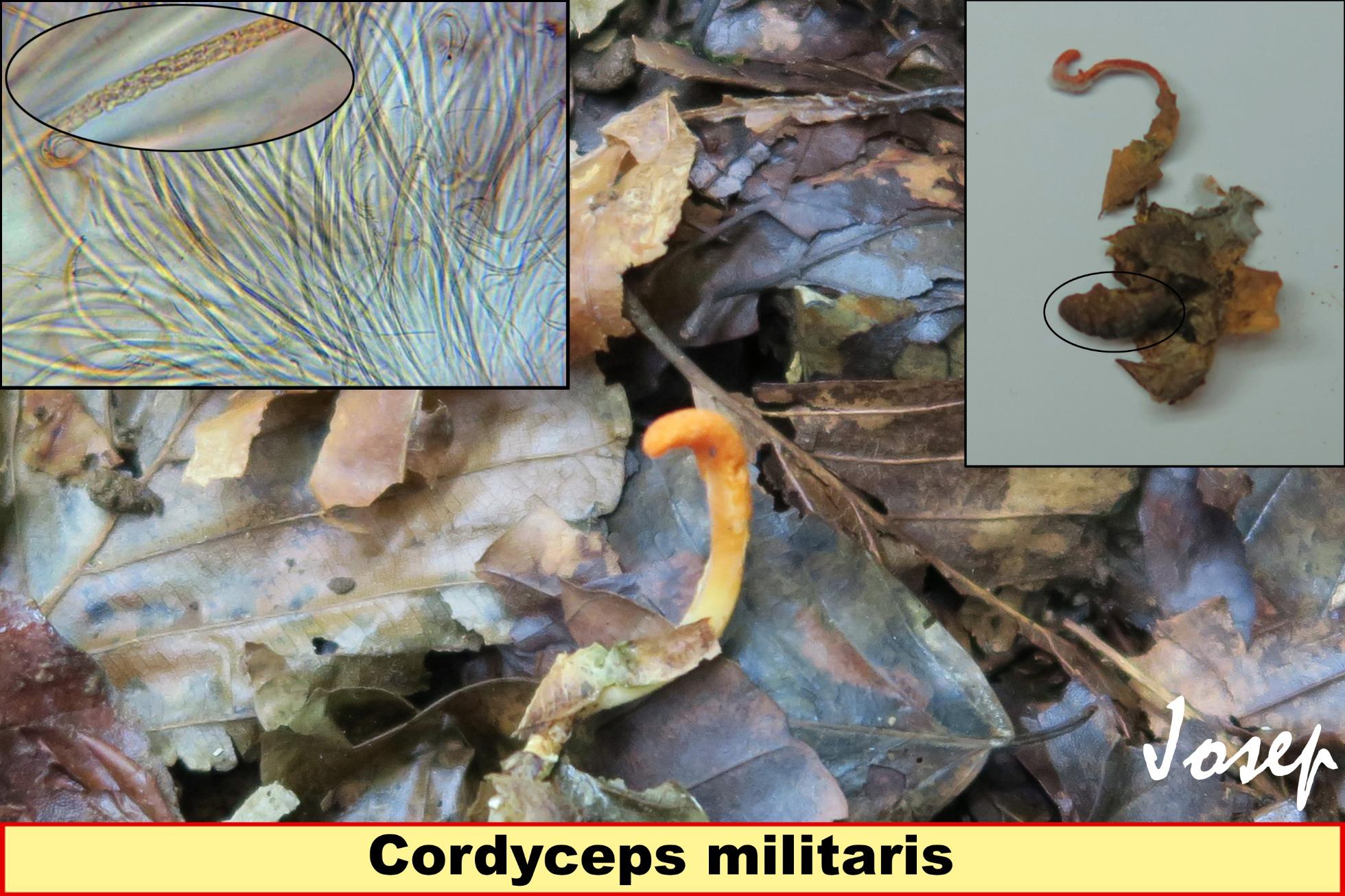 Cordycepsmilitaris_2018-12-21.jpg