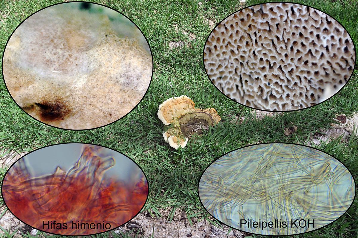 Coriolopsispolyzonap2.jpg