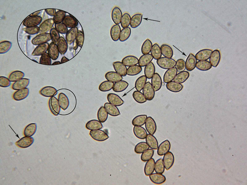 CortinariusdolabratusEsporasdefinicin.jpg