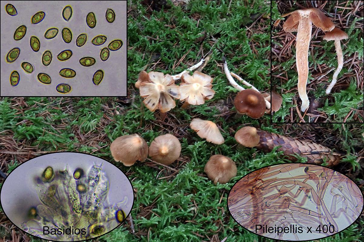 Cortinariuspulverobtususp.jpg