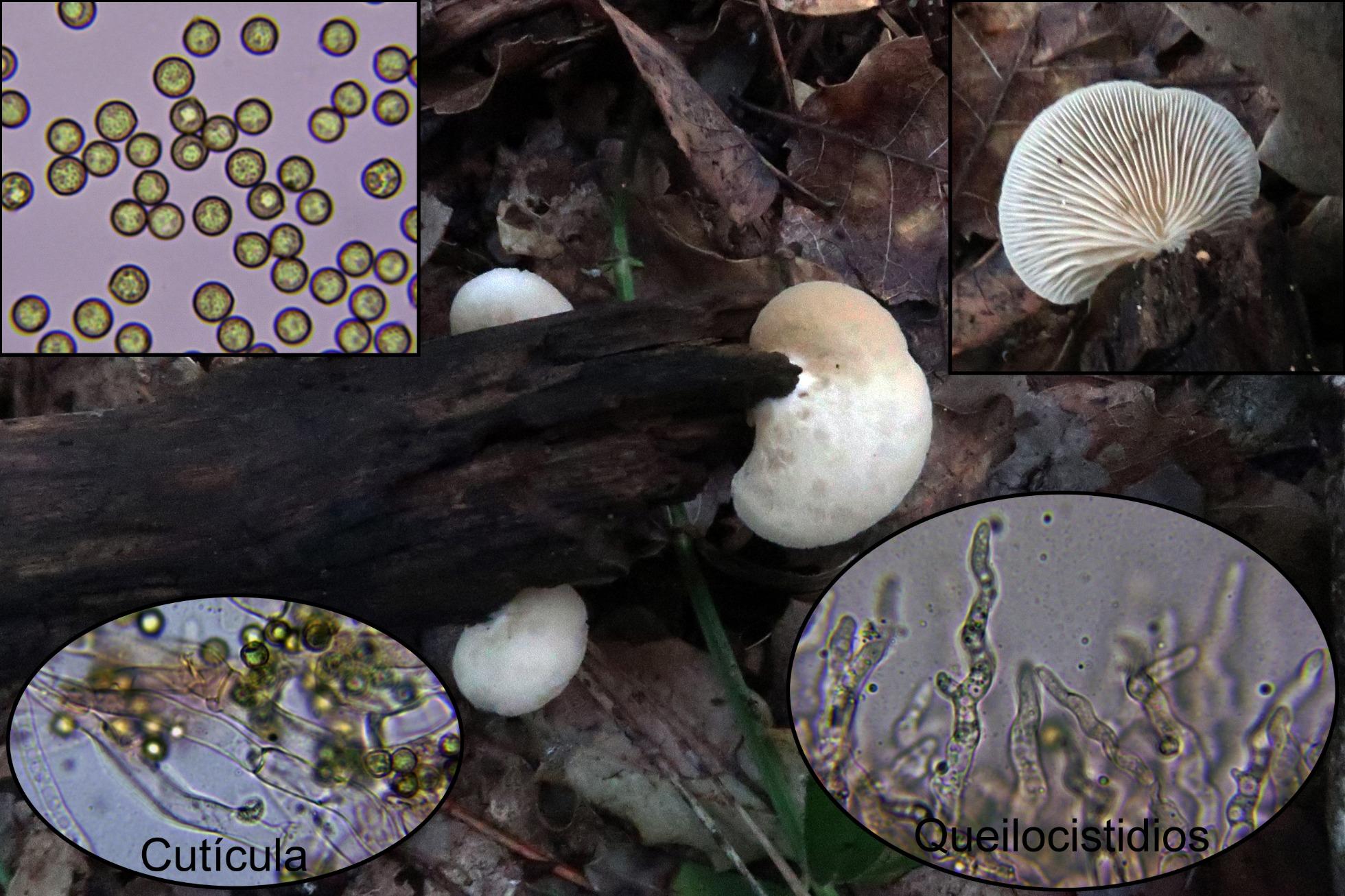 Crepidotuscesatiivarsphaerosporusp.jpg