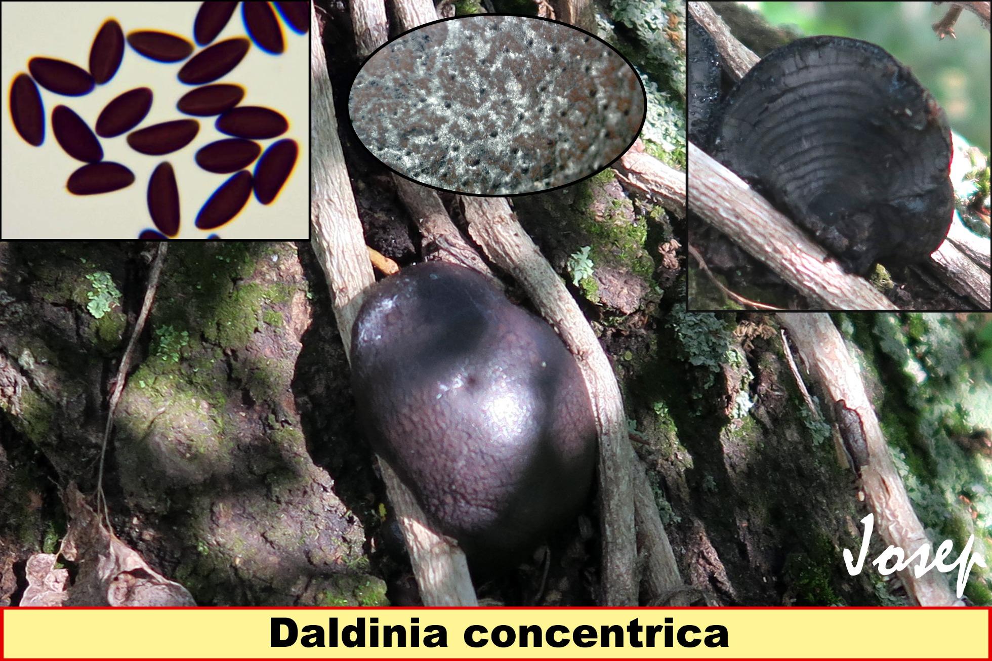 Daldiniaconcentrica_2019-03-06.jpg