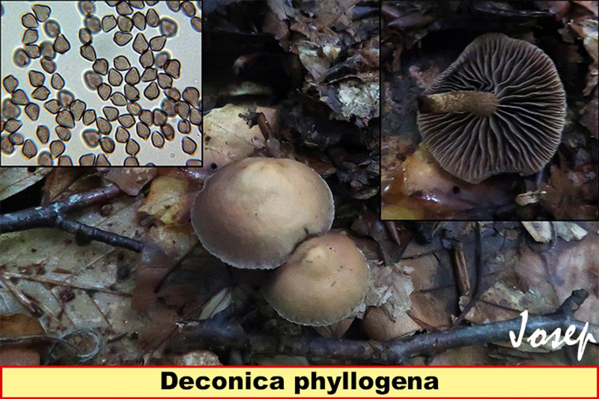 Deconicaphyllogena.jpg