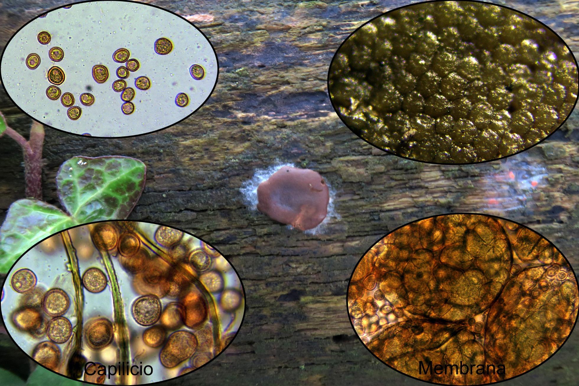 Dictydiaethaliumplumbeum_2020-07-12.jpg