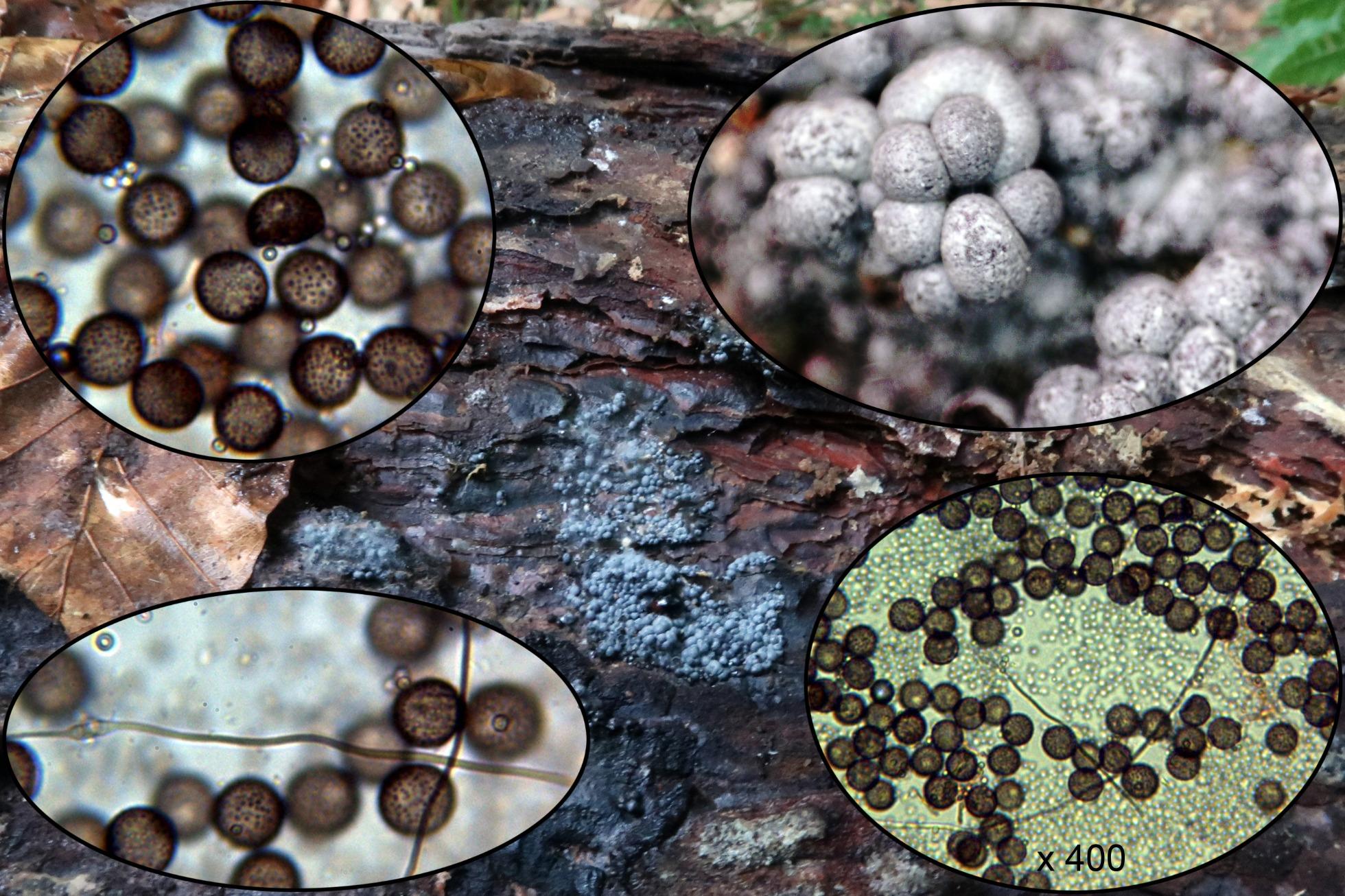 Didermaspumarioidesp_2020-08-15.jpg