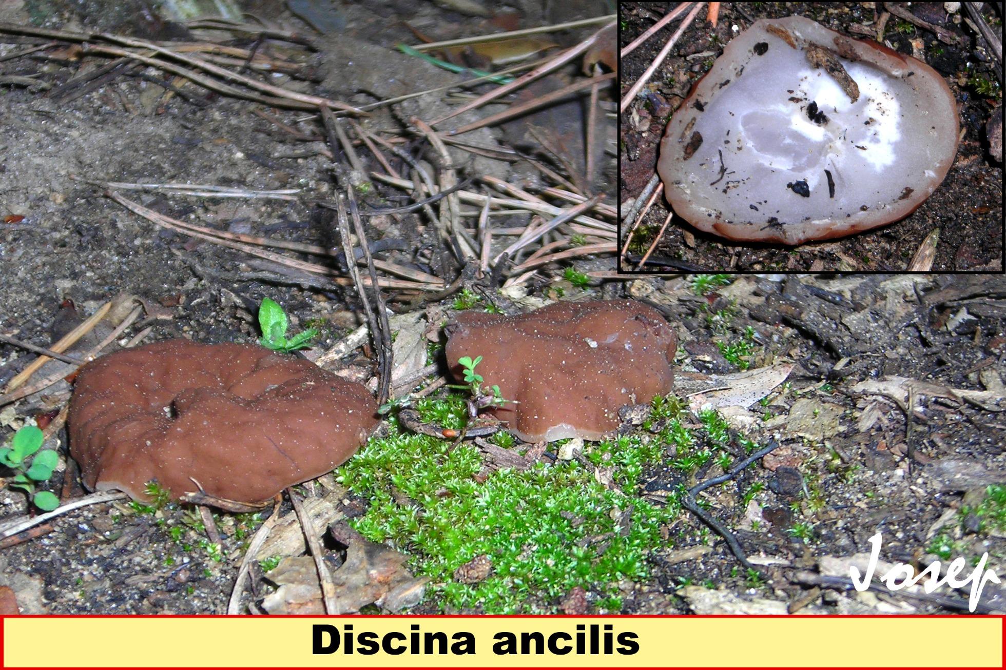 Discinaancilis_2021-03-03.jpg