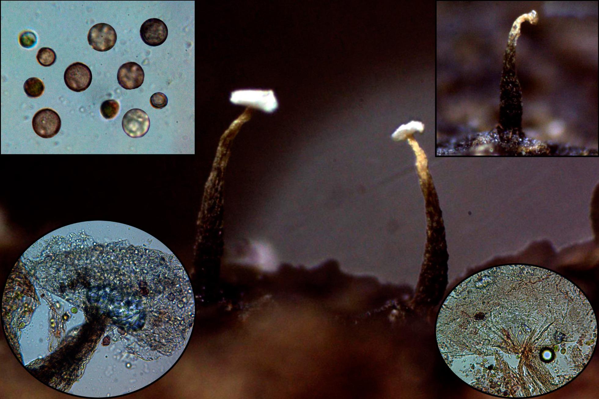 Echinosteliumminutump.jpg