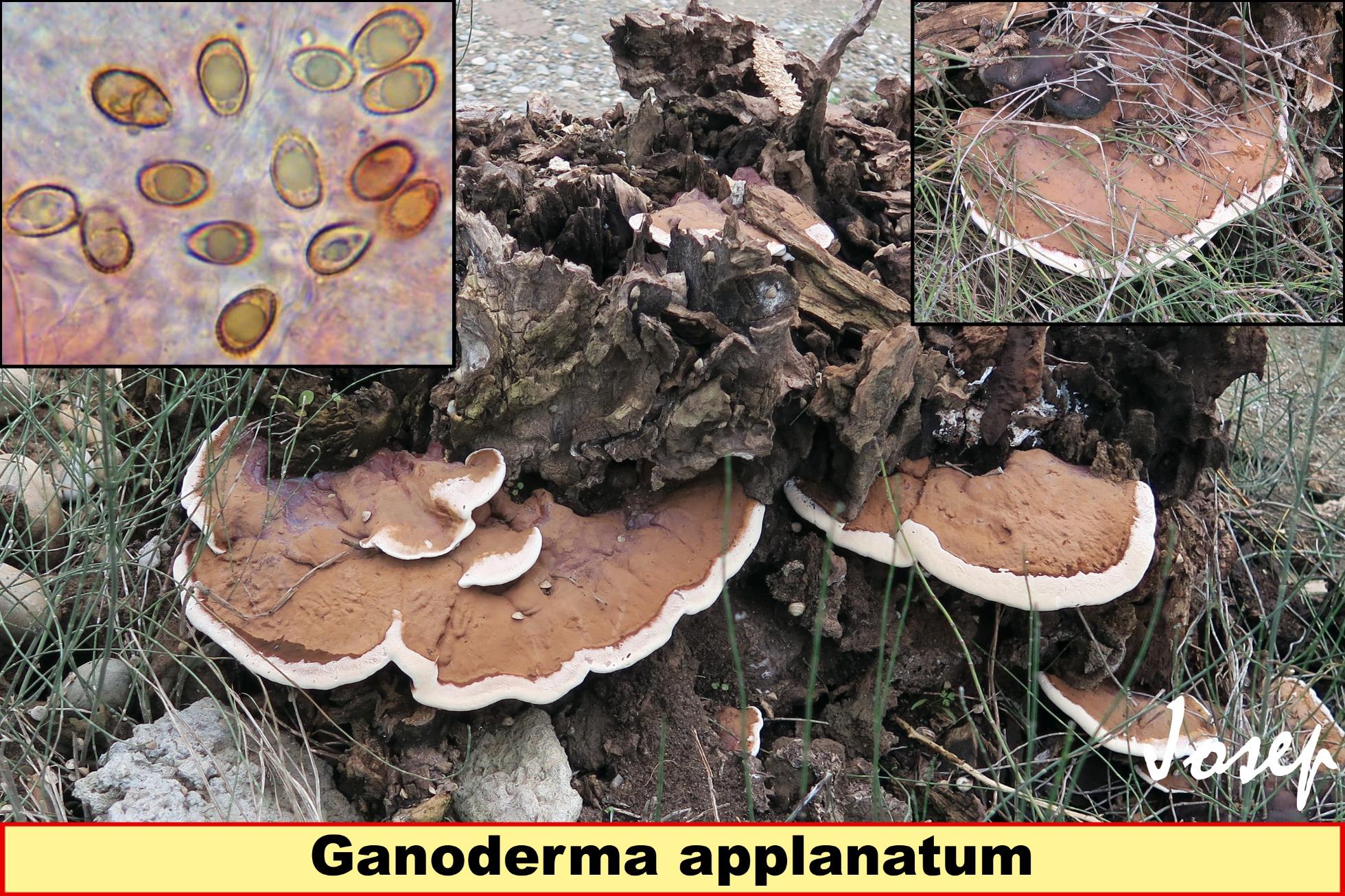 Ganodermaapplanatum_2020-08-09.jpg