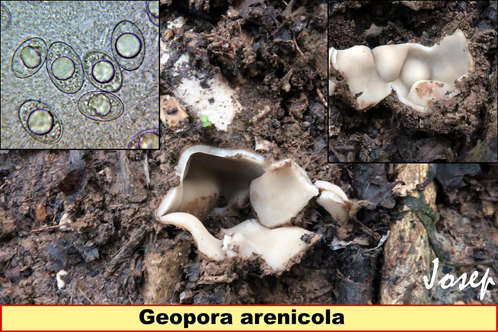 Geoporaarenicola.jpg