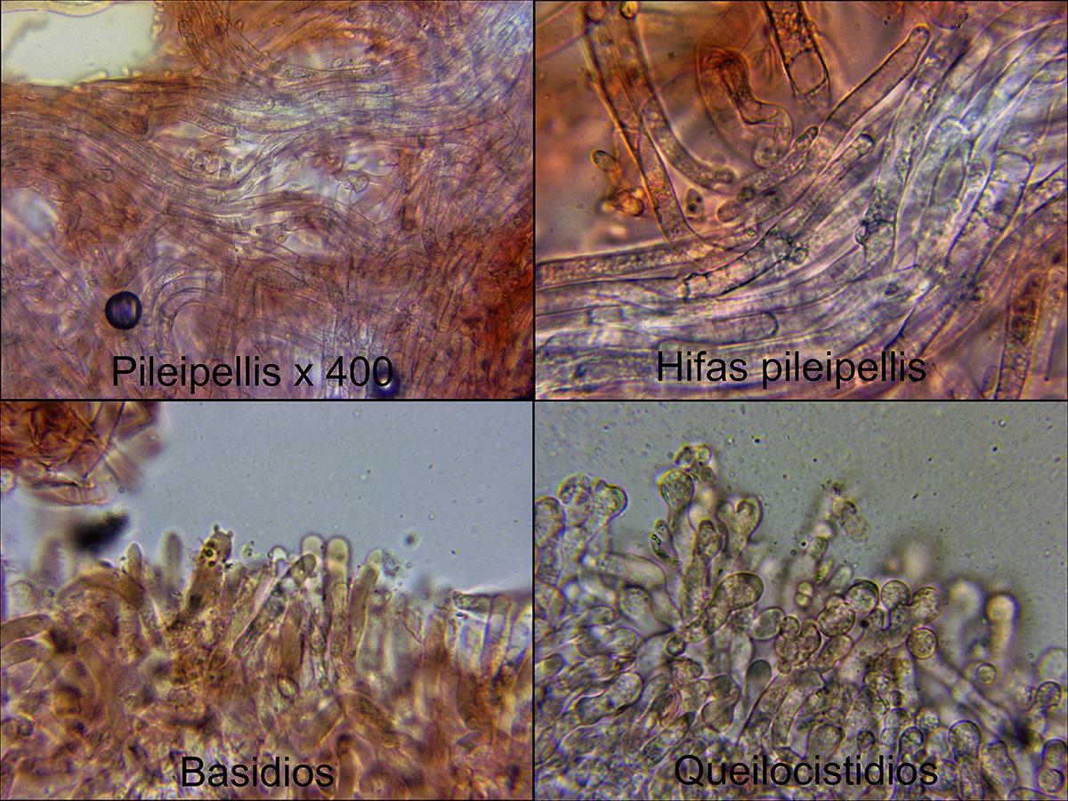 Gymnopusconfluensmicro.jpg