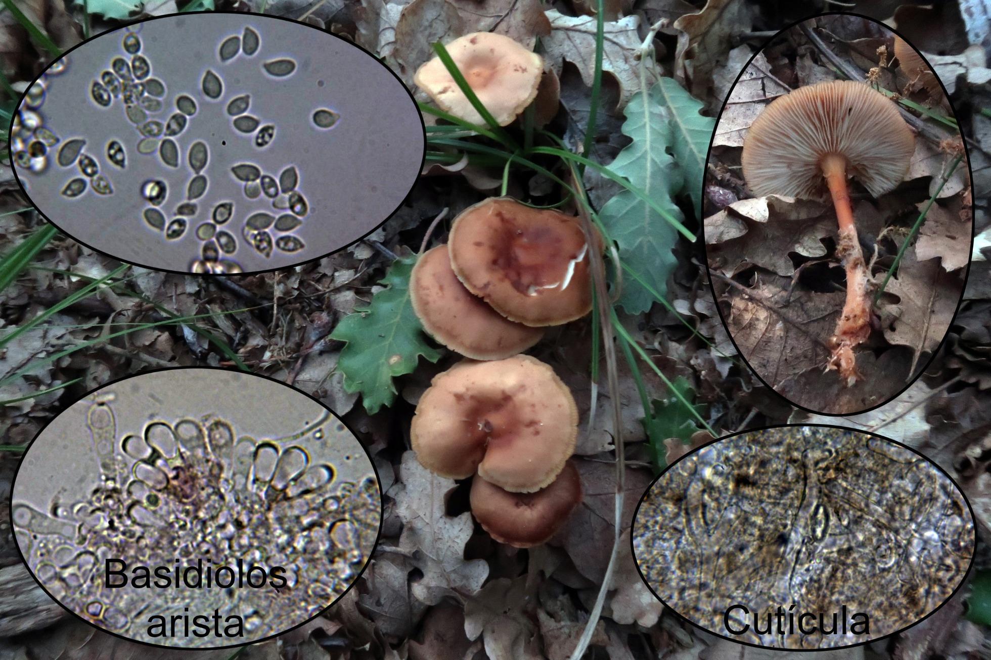 Gymnopusdryophilus9.jpg