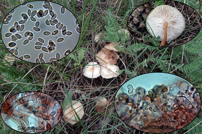Gymnopusdryophilusbajopinos.jpg